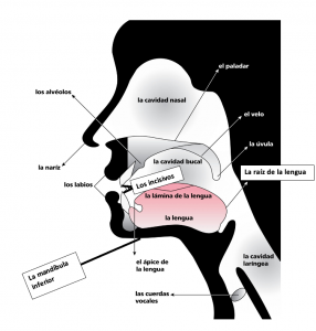 Shows a diagram of the parts of the speech apparatus with labels of each part.