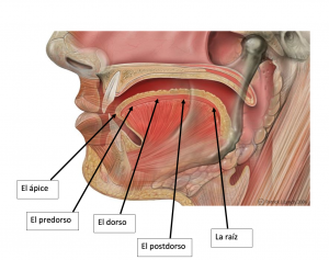 Shows a diagram of the tongue with labels of each part of the tongue from front to back.